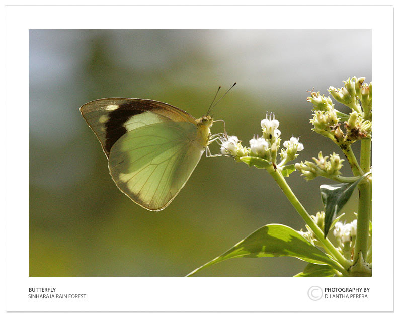 "photo ""Butterfly at sinharaja"" tags: nature, travel, Asia, insect"