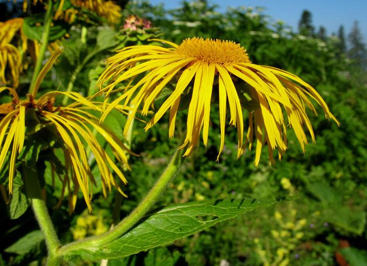 """фото """"""""Альпийские"""" цветы"""" метки: природа, цветы"""