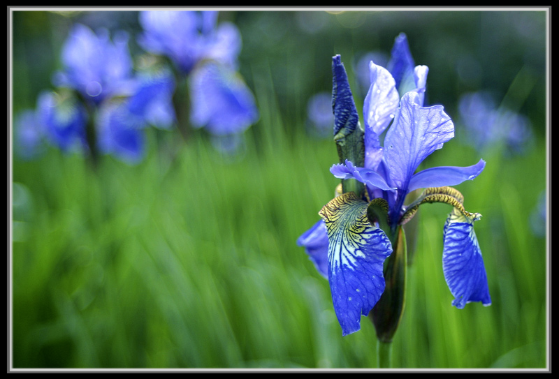 "photo ""Iris"" tags: nature, flowers"