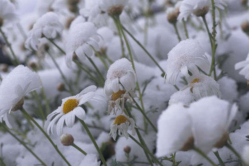 """фото """"...Ромашки спрятались..."""" метки: природа, цветы"""