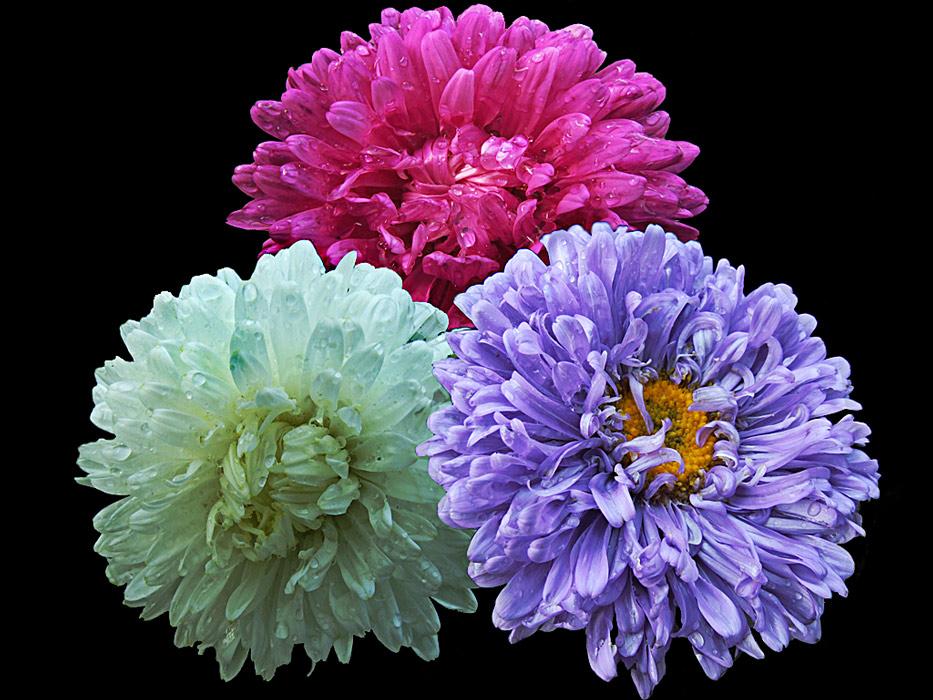 """фото """"Российский  АСТРАл"""" метки: природа, макро и крупный план, цветы"""