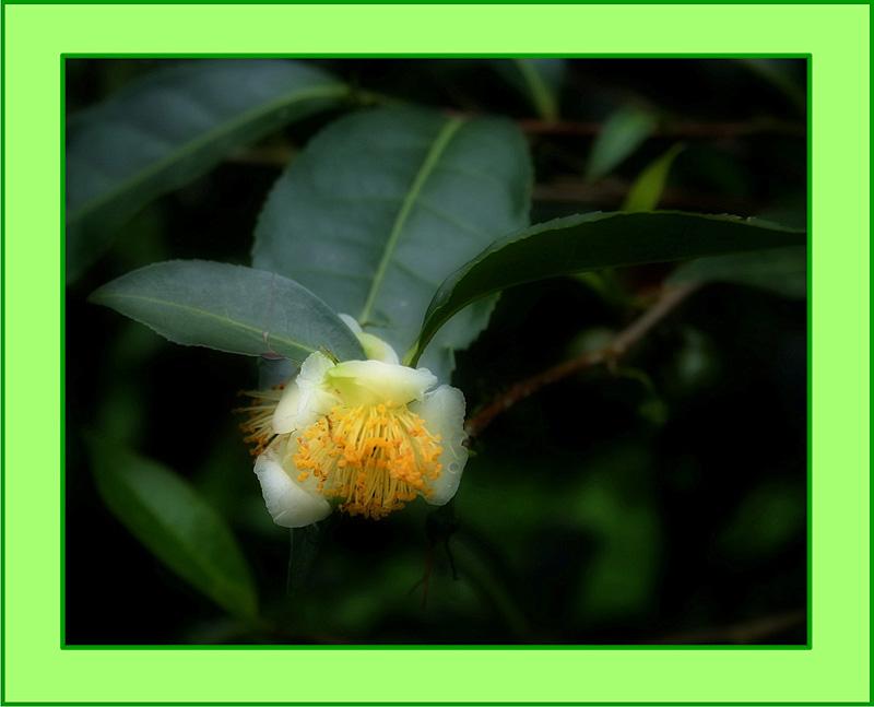 "фото ""Цветок чайного дерева"" метки: природа, натюрморт, цветы"