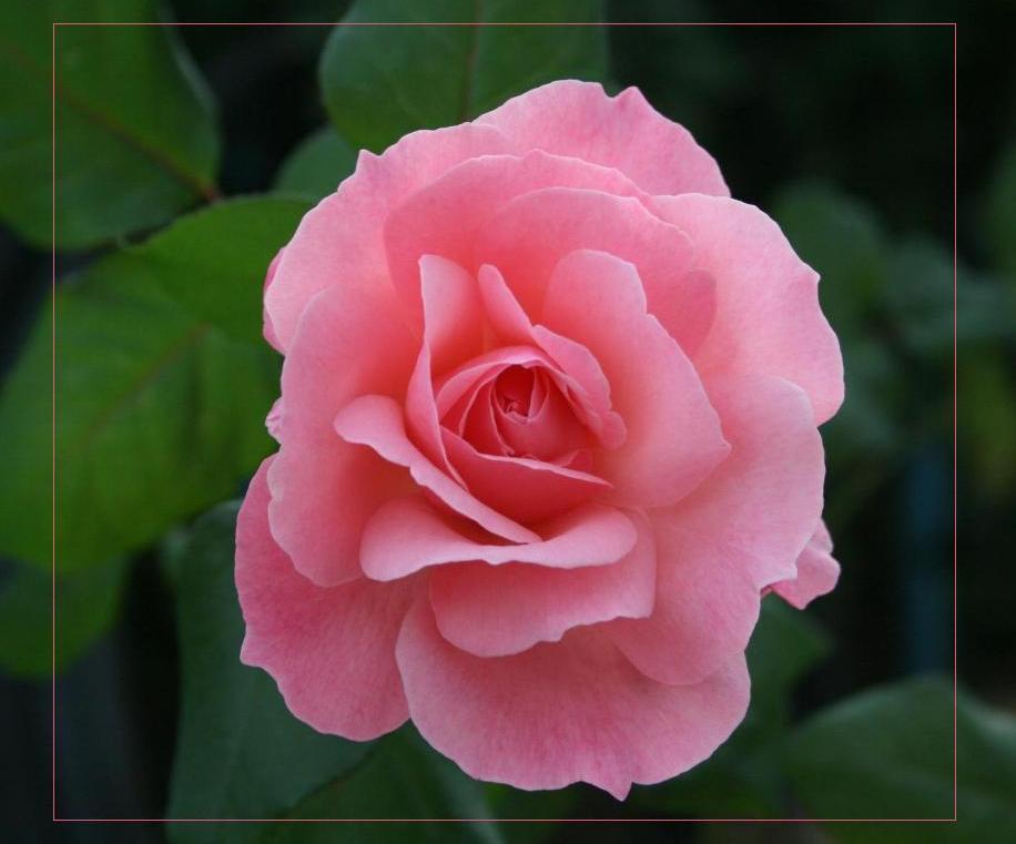 """фото """"Нежность"""" метки: природа, макро и крупный план, цветы"""