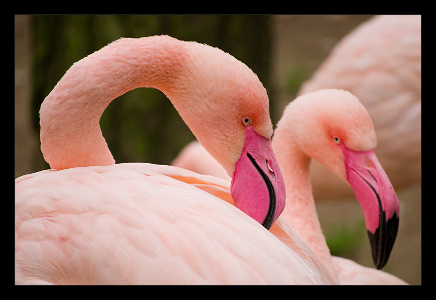 "photo ""Flamingo"" tags: nature, wild animals"