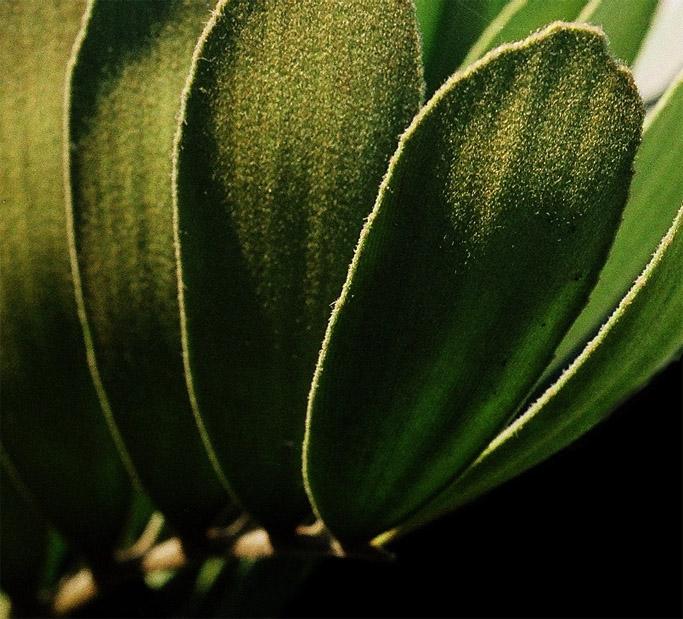 """фото """"""""Nap"""" leaves. -  Листья """"с начесом""""."""" метки: природа, цветы"""