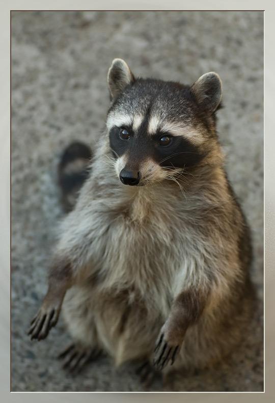 "photo ""Raccoon"" tags: nature, wild animals"