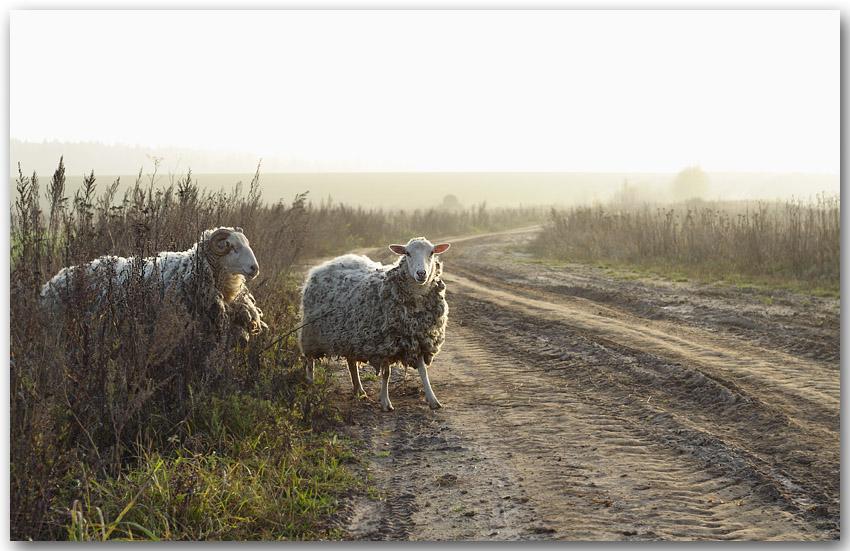"""фото """"Про овец и туман"""" метки: пейзаж, природа, домашние животные, осень"""