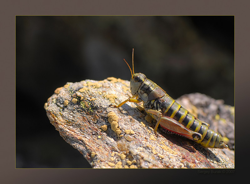 "photo ""Podisma pedestris"" tags: macro and close-up, nature, insect"