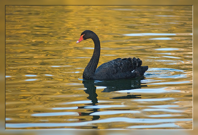 "photo ""Black swan on an autumn water"" tags: nature, wild animals"