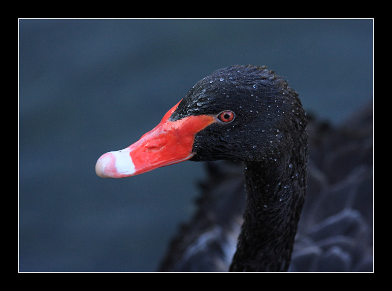 "photo ""Black Prince 2."" tags: nature, wild animals"