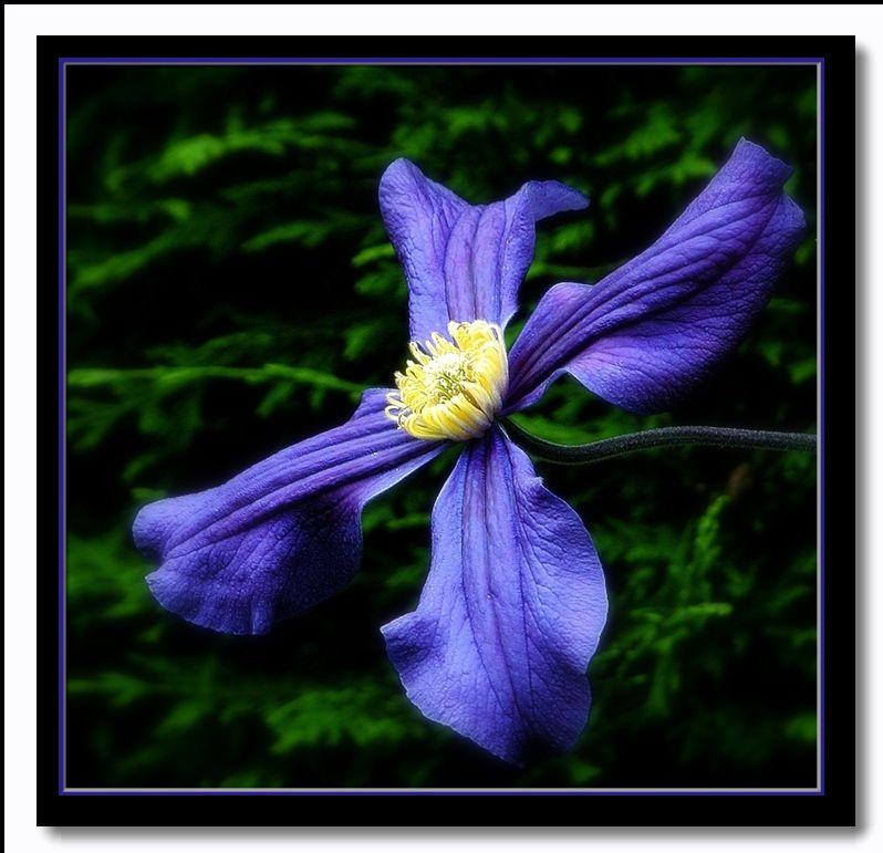 "фото ""clematis"" метки: природа, цветы"