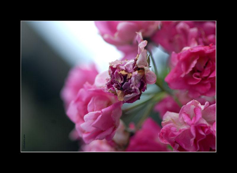 "фото ""ROSES"" метки: природа, цветы"