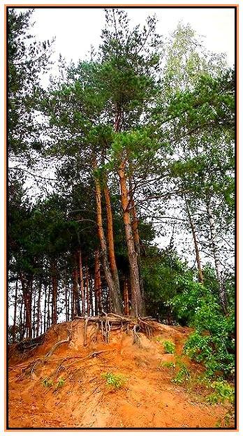 """фото """"песчанные  сосны"""" метки: пейзаж, лес, лето"""