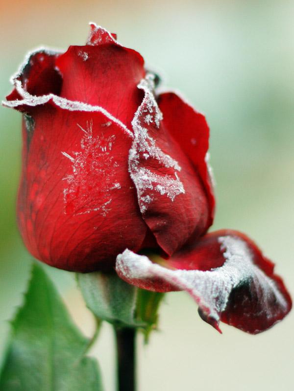 """фото """"Жизнь кончается."""" метки: природа, цветы"""