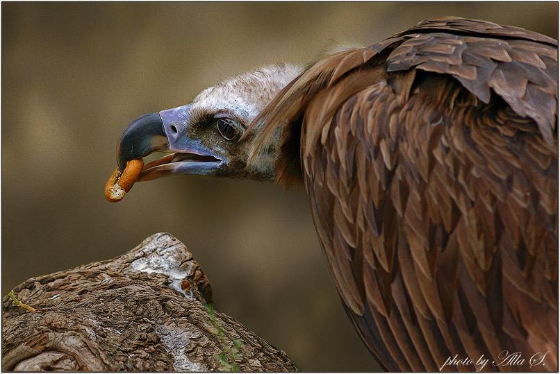 """фото """"Бублик для грифа"""" метки: природа, дикие животные"""