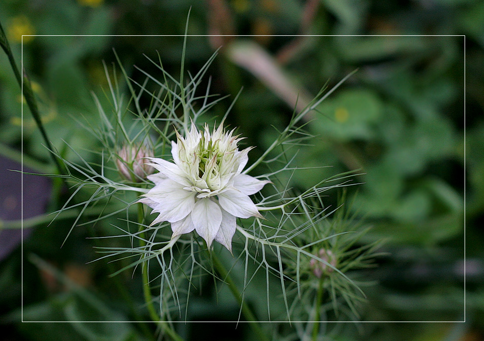 "photo ""Nigella damascena"" tags: ,"