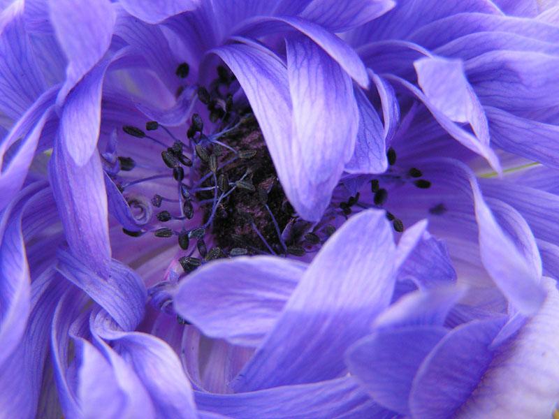 """фото """"Синь"""" метки: природа, цветы"""