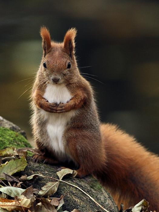 """photo """"Sciurus vulgaris"""" tags: nature, wild animals"""