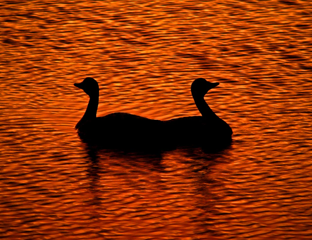 "photo ""The Duck Lake"" ballet. Part 1."" tags: nature, landscape, sunset, wild animals"