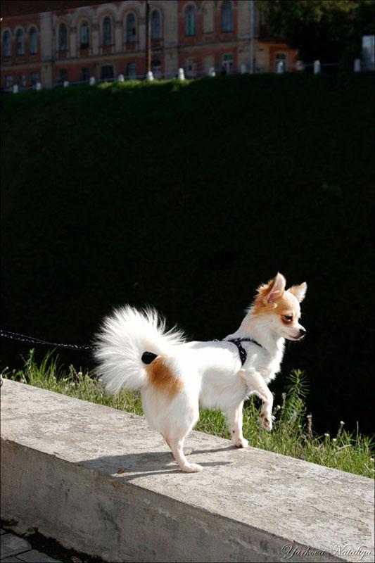 """фото """"""""Маленькая собачка"""""""" метки: природа, домашние животные"""