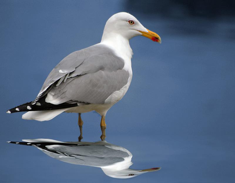 "фото ""Gaivota"" метки: природа, дикие животные"