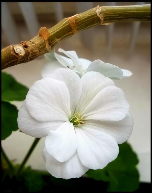 "фото ""Белоснежка"" метки: природа, цветы"
