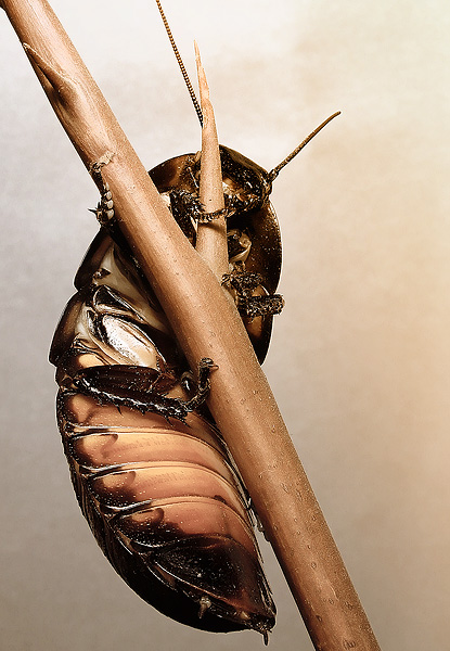 "photo ""Cockroach glamour"" tags: still life,"