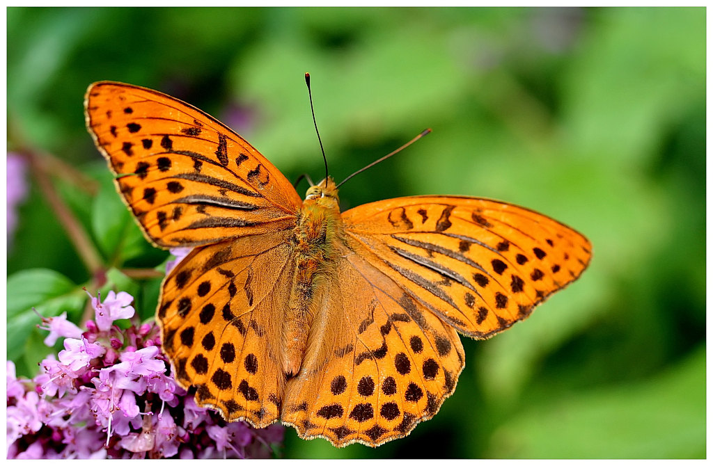 "photo ""Argynnis paphia"" tags: nature, landscape, insect, summer"