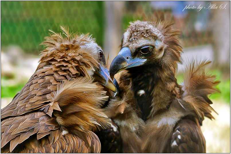 """фото """"Поцелуй"""" метки: природа, дикие животные"""