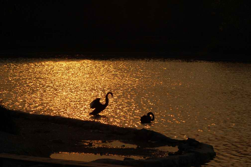 "photo ""Swan in the glow of sunset"" tags: landscape, nature, sunset, wild animals"