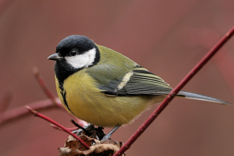 "photo ""Parus major (2)"" tags: nature, wild animals"