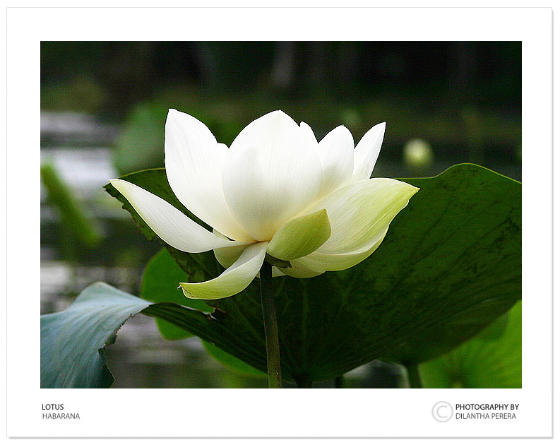 "photo ""Lotus"" tags: nature, travel, Asia, flowers"