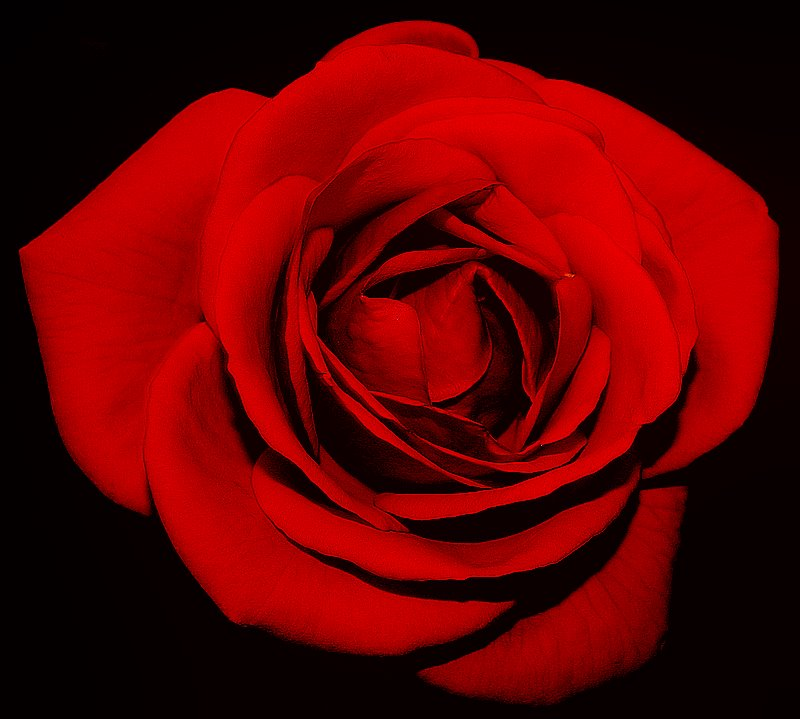 "фото ""A Red Rose for Sil..."" метки: ,"