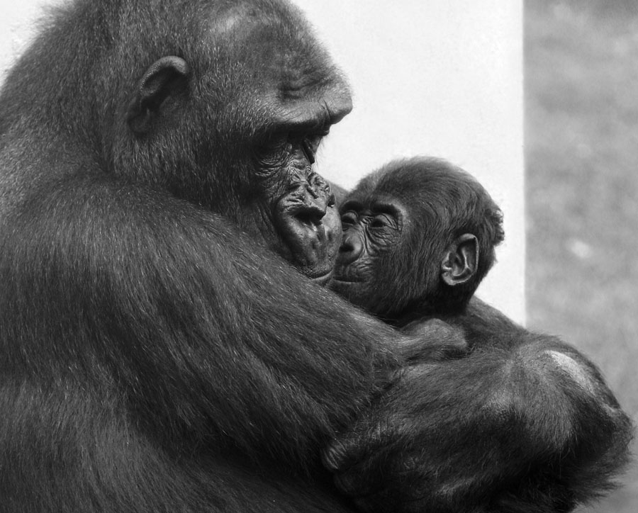 "photo ""30651 Mothers love II"" tags: nature, black&white, wild animals"
