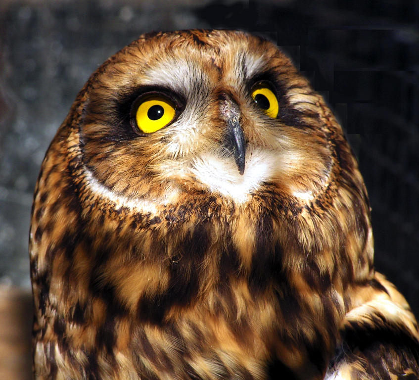 """photo """"Неясыть, птицы, животные, совы."""" tags: nature, wild animals"""