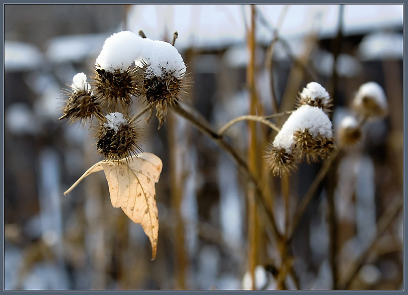 "photo ""Bur-predator :)"" tags: landscape, nature, flowers, winter"