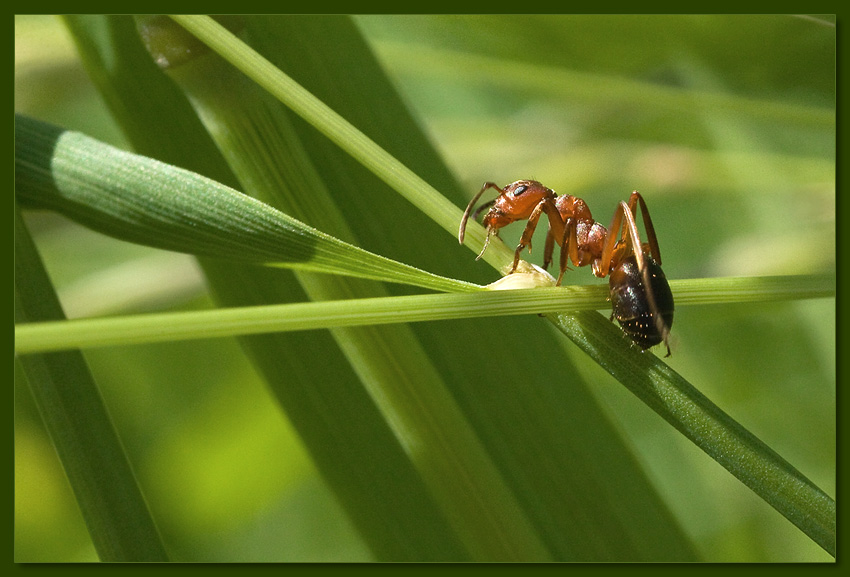 "photo ""Ant"" tags: macro and close-up, nature, insect"