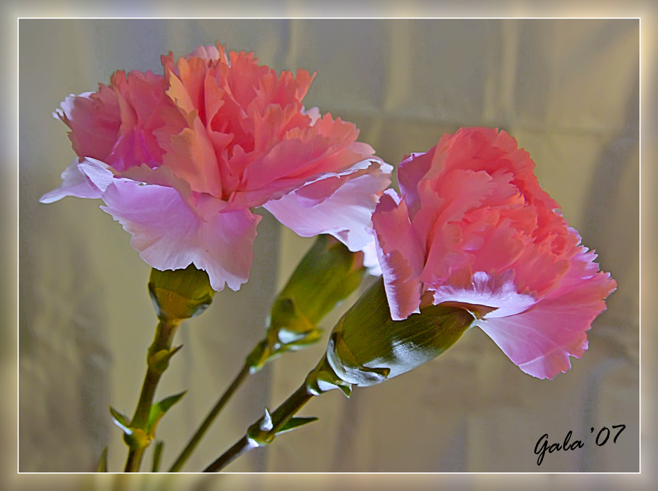 "photo ""Pink dreams"" tags: macro and close-up, nature, flowers"