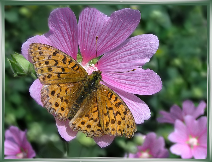 "photo ""Mallow"" tags: nature, macro and close-up, insect"