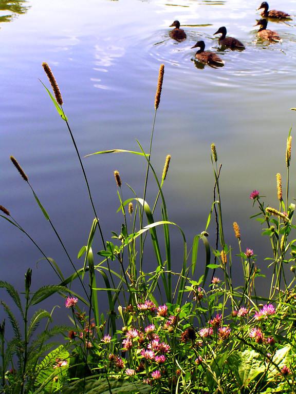 """фото """"Клевер и утята."""" метки: природа, макро и крупный план, цветы"""
