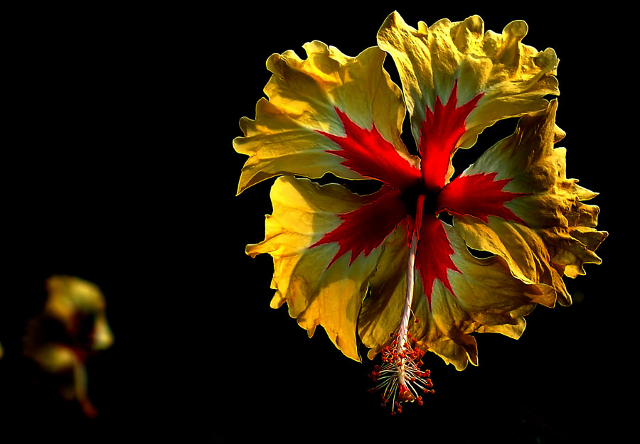 "фото ""01283b Hibiscus"" метки: природа, абстракция, цветы"