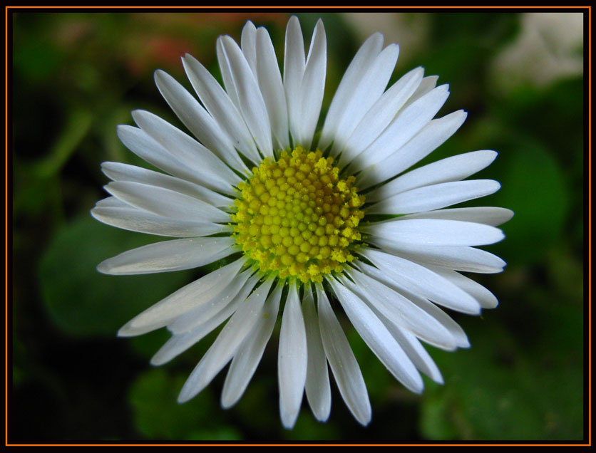 "photo ""Daisy"" tags: nature, flowers"