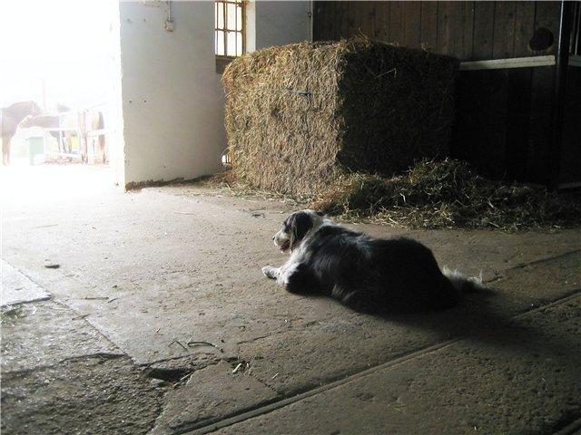 "фото ""Собака у сена"" метки: природа, домашние животные"