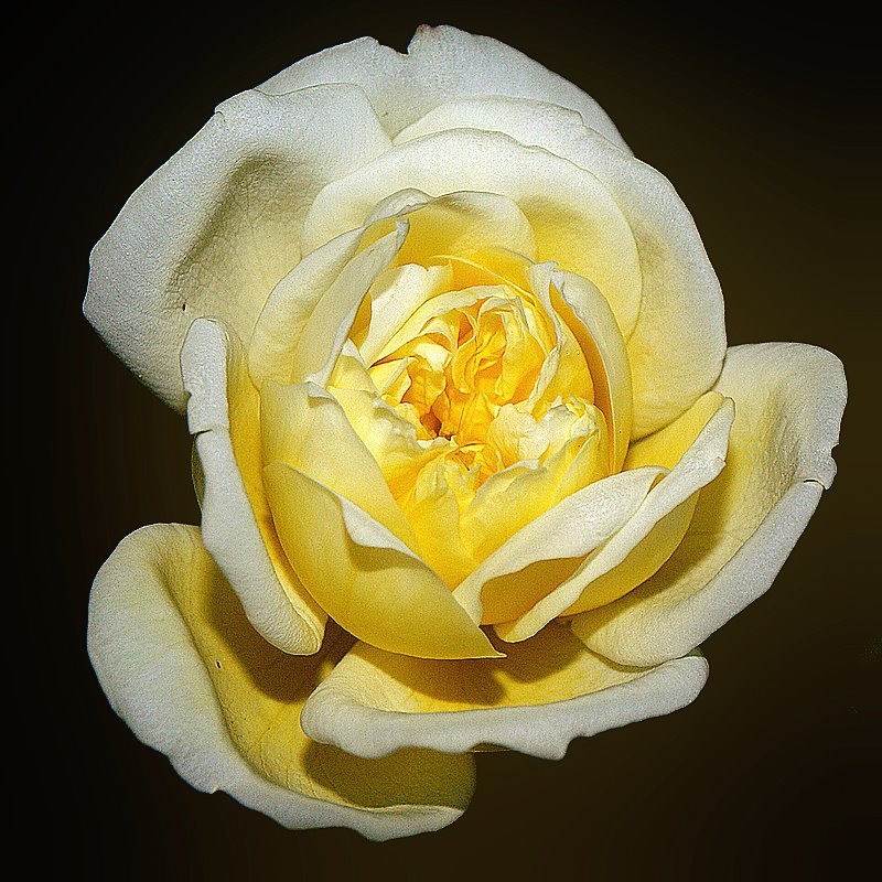 "photo ""The Beautiful Yellow Rose..."" tags: nature, flowers"