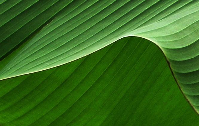 "фото ""Дюны  (лист банана - фрагмент)"" метки: ,"