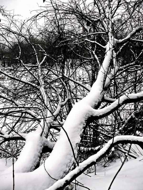 """фото """"Дерево в снегу"""" метки: природа, цветы"""