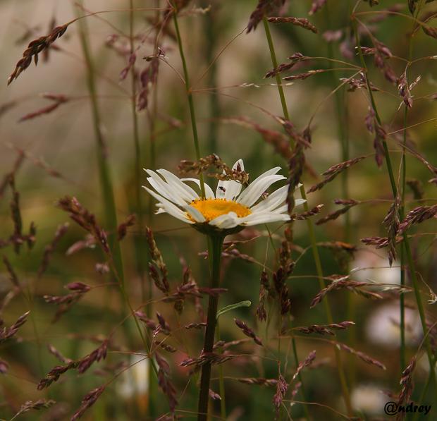 """фото """"среди травы"""" метки: природа, цветы"""