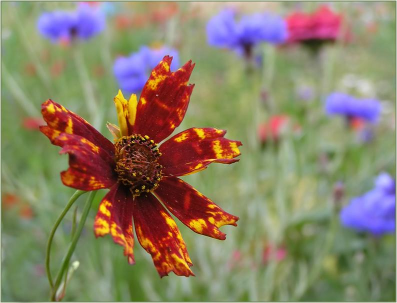 """фото """"Пёстрая смесь"""" метки: природа, макро и крупный план, цветы"""
