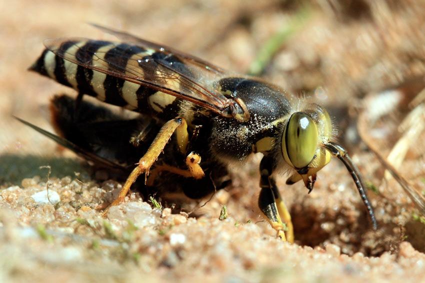 """фото """"оса-хищница"""" метки: макро и крупный план, природа, насекомое"""