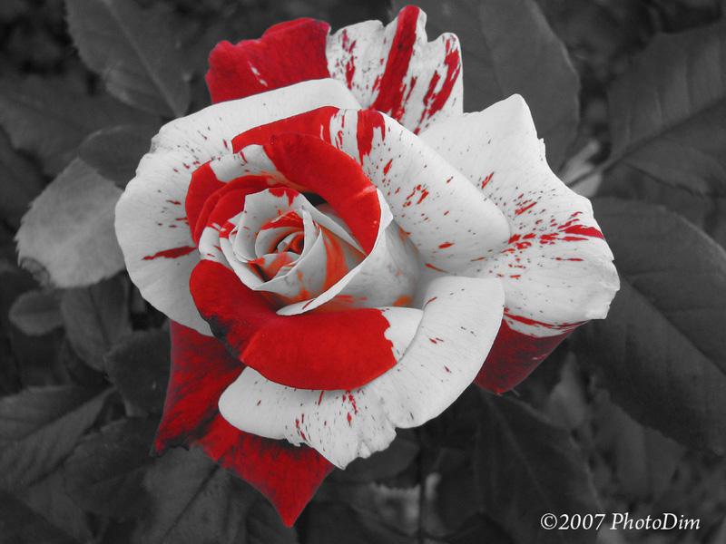 """фото """"Bloodied Beauty"""" метки: природа, макро и крупный план, цветы"""